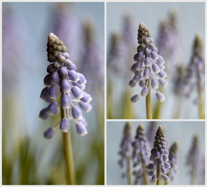 Muscari-Collage
