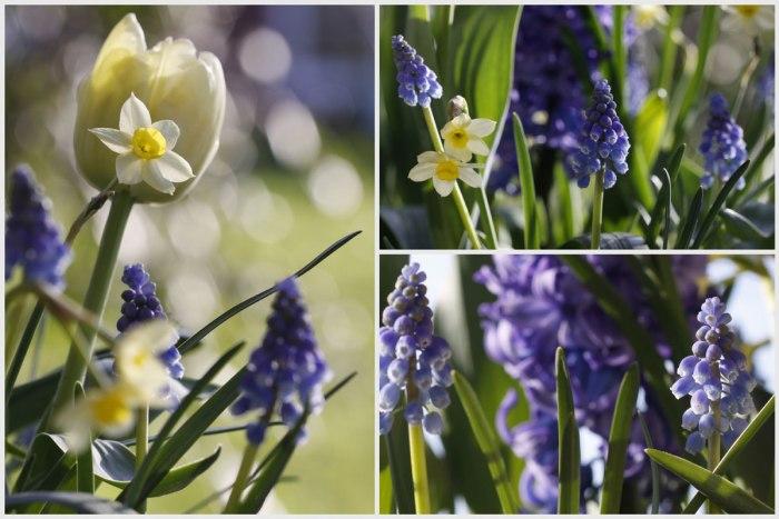 Muscari&Spring-Bulbs-Collag