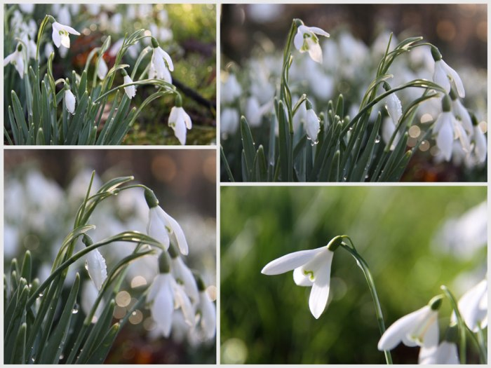 Snowdrop-Collage
