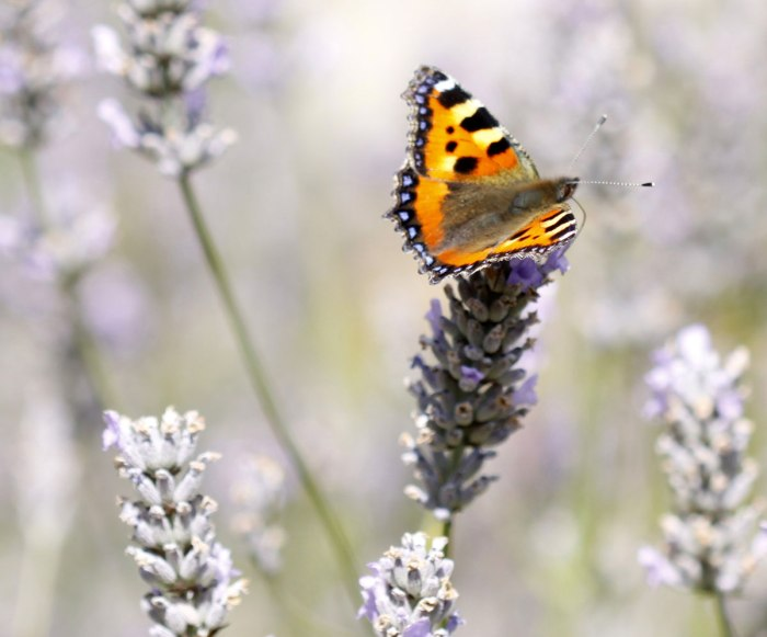 Small-Tortoiseshell-Butterfly