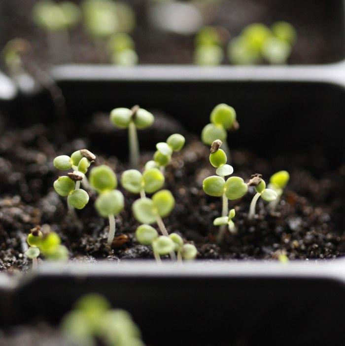 Clarkia-Seedlings