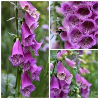 Digitalis-purpurea-Collage-500