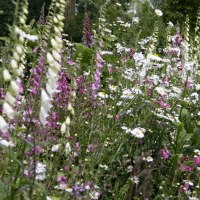 Grow Foxgloves from Seed