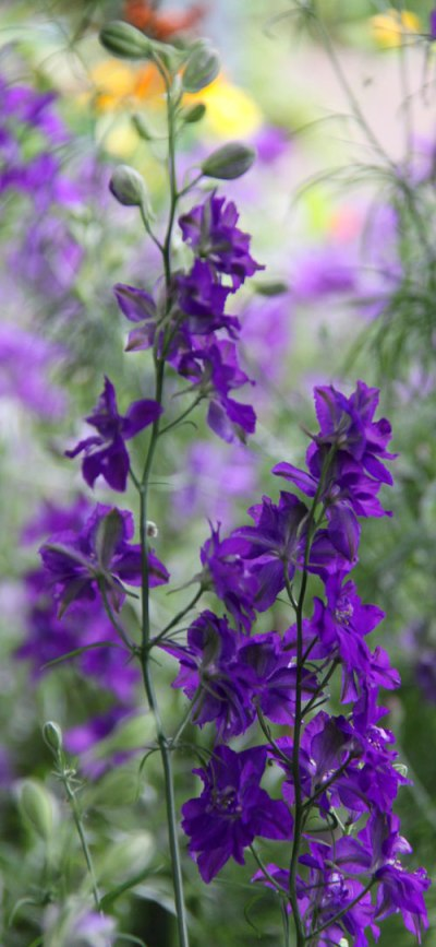 larkspur-long