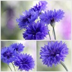 Blue-Cornflowers-Collage-30