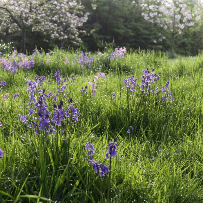 Bluebells&Appleblossom
