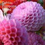 dahlia-pompon-mix-500