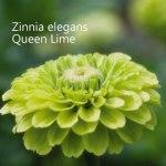 Zinnia-Queen-Lime