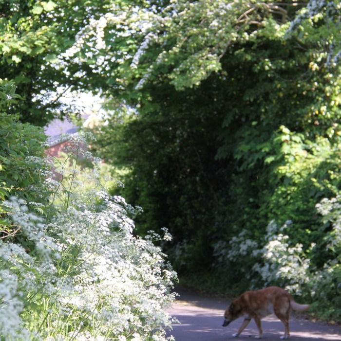 Cowparsley-Driveway