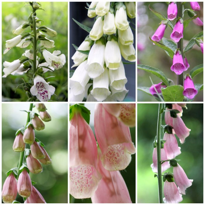 Foxglove-Flowers-Collage