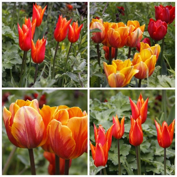 Orange-Tulips-Collage