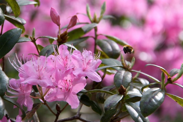Rhododendron-Pink