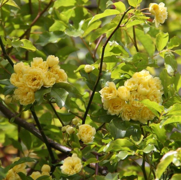 rosa-banksii-lutea-Foliage