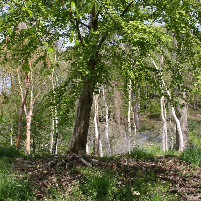 Silver-Birch-Grove