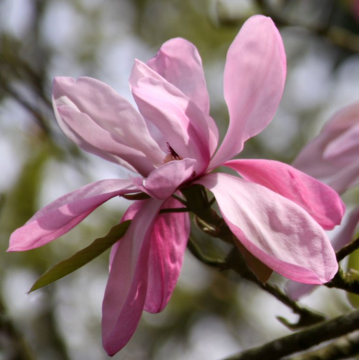 Single-Magnolia-Blossom