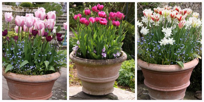 Tulips-pots