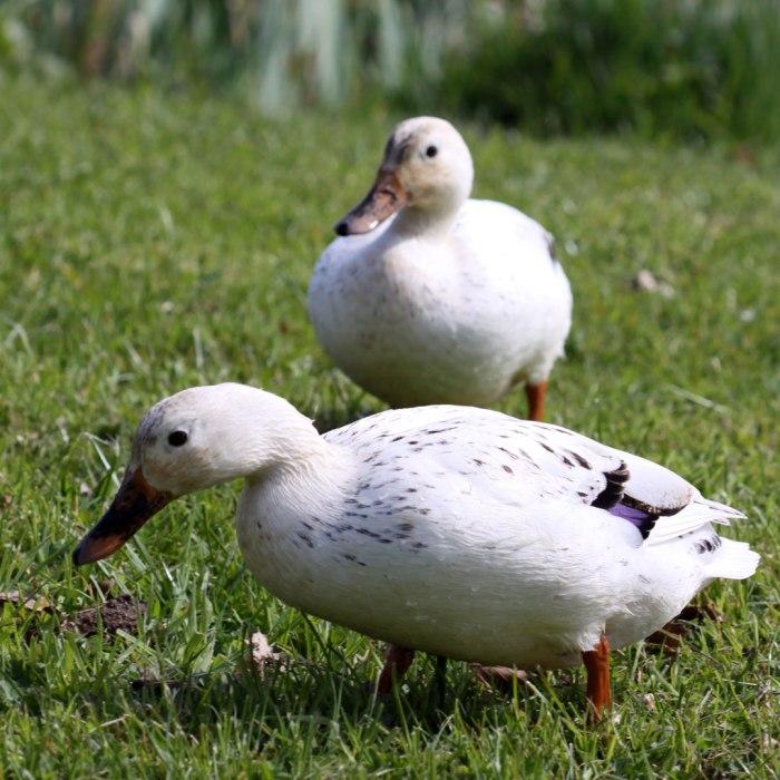 White-Ducks