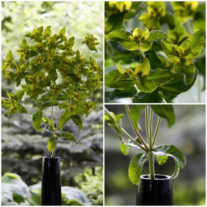 Euphorbia-Oblongata