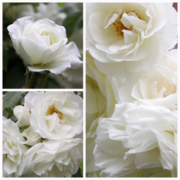 Rose-Collage