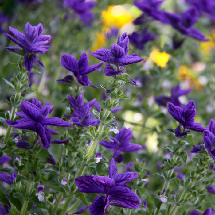 Salvia-Oxford-Blue