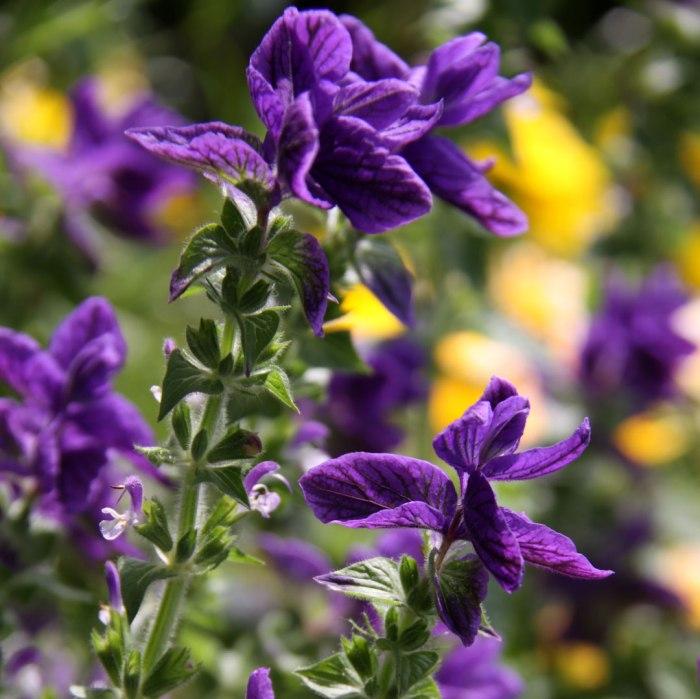 Salvia-with-Calendula