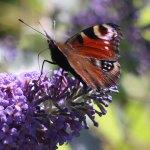 Buddleja-Butterfly