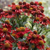Helenium 'Dark Beauty'