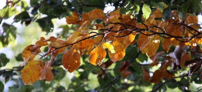Golden-Beech-Leaves