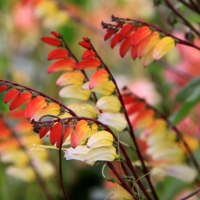 How to Grow Ipomoea lobata