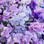 sweet-pea-blue-ocean-500