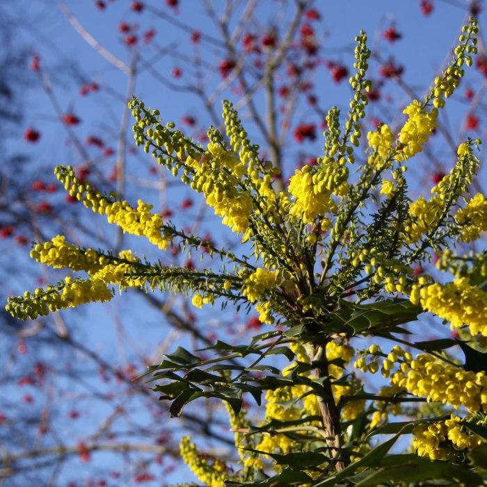 mahonia-viburnum