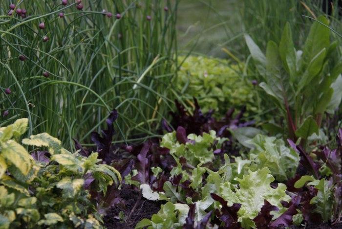 oak-leaf-lettuce-planted