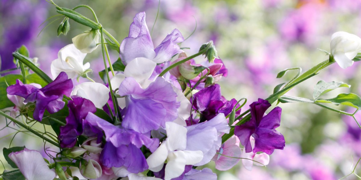 3 Reasons to Grow Sweet Peas in Autumn