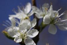 Damson Blossom2