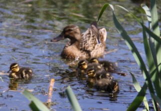 Ducklings 06