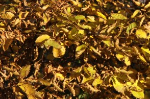 Buttery yellow leaves in autumn