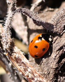 Ladybird on decaying vegetation