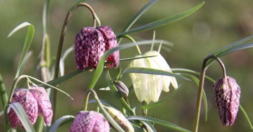 Fritillary flowers are purple, pink and white