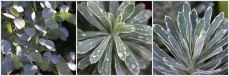 Eucalyptus-&-Euphorbia