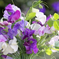 Grow Sweet Peas from Seed