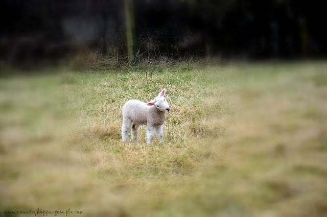 Photo Of The Week: Little Lamb in Northern Ireland