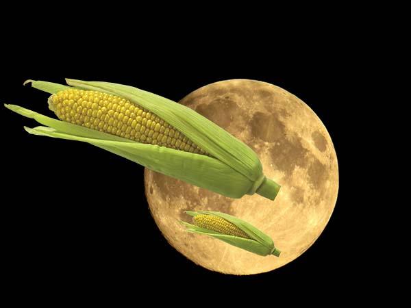Когда сажать кукурузу в открытый грунт по лунному календарю