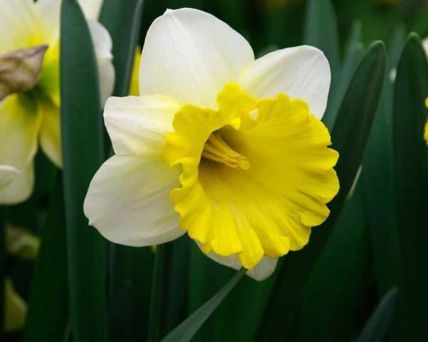 Dutch Master Daffodil 100 Bulbs 12//14 cm Bulbs Deer /& Rodent Resistant