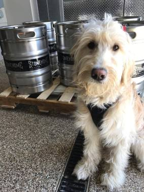 F1 Goldendoodle - Home in MN