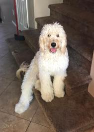 F1 Goldendoodle - Home in AZ