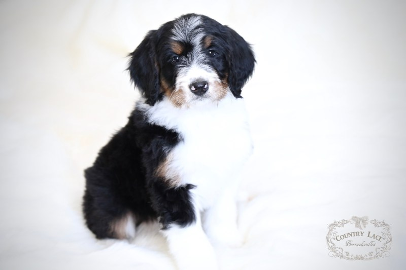 Country Lace Bernedoodles