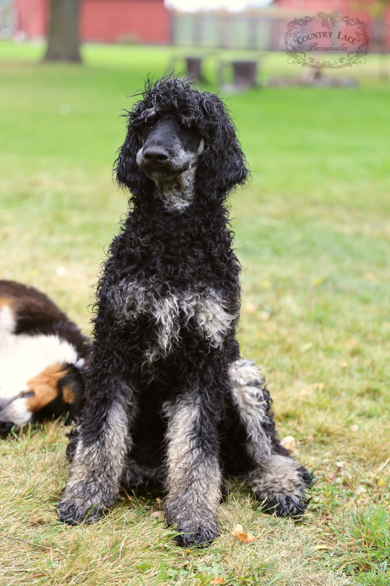 AKC Registered Poodle