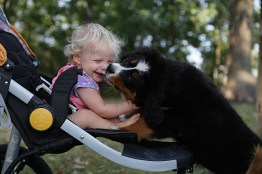 """Cheri"" - AKC Bernese Mountain Dog"