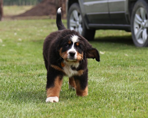 Cherie Akc Bernese Mountain Dog Country Lace Bernedoodles