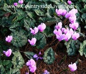 Цикламен плющелистный (Cyclamen hederifolium). Осенние луковичные цветы